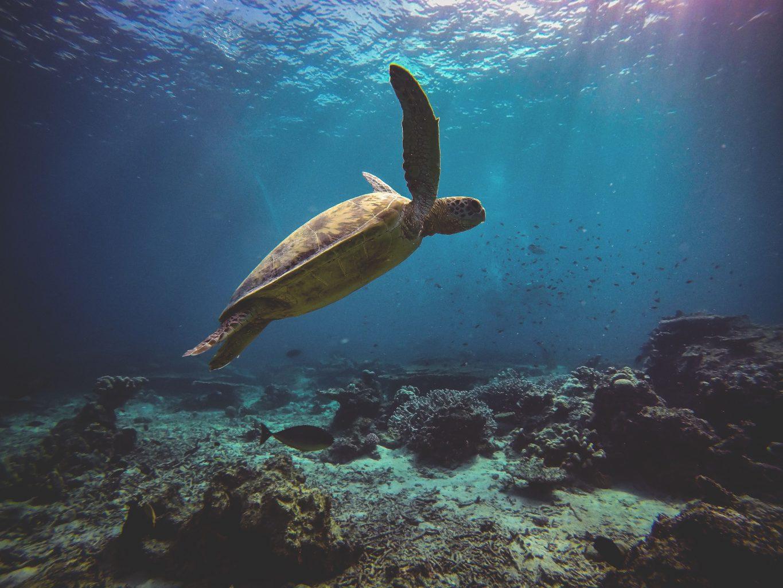 Borneo Turtle
