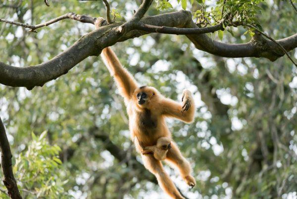 Gibbon, Laos