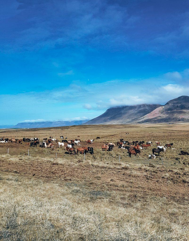 Icelandic Horses North Iceland