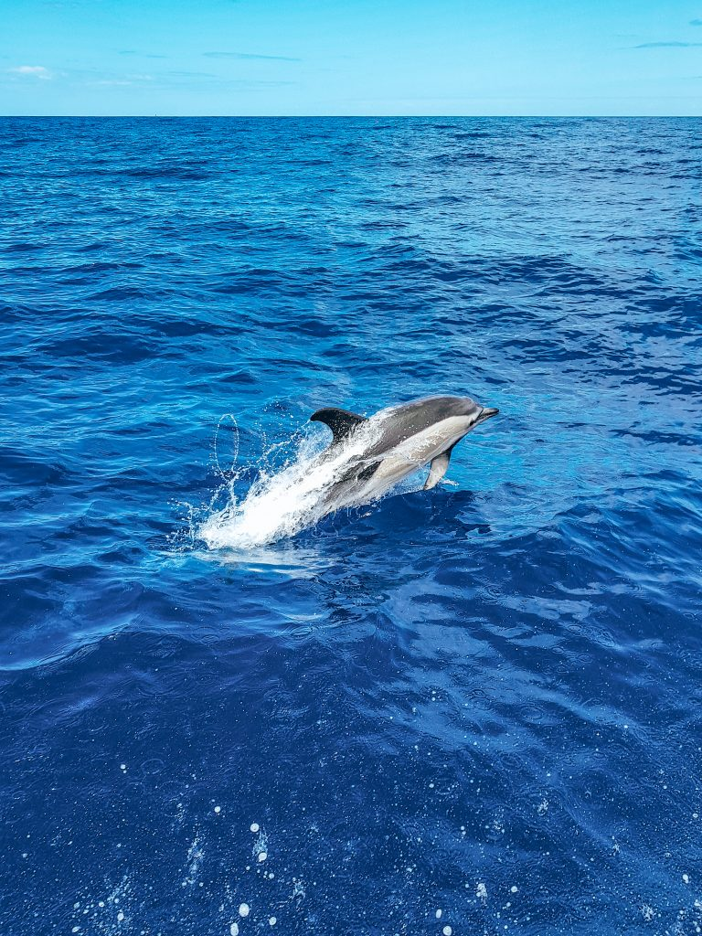 Dolphin Watching Madeira