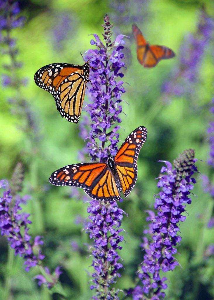 garden trends 2020, Butterflies on flowers