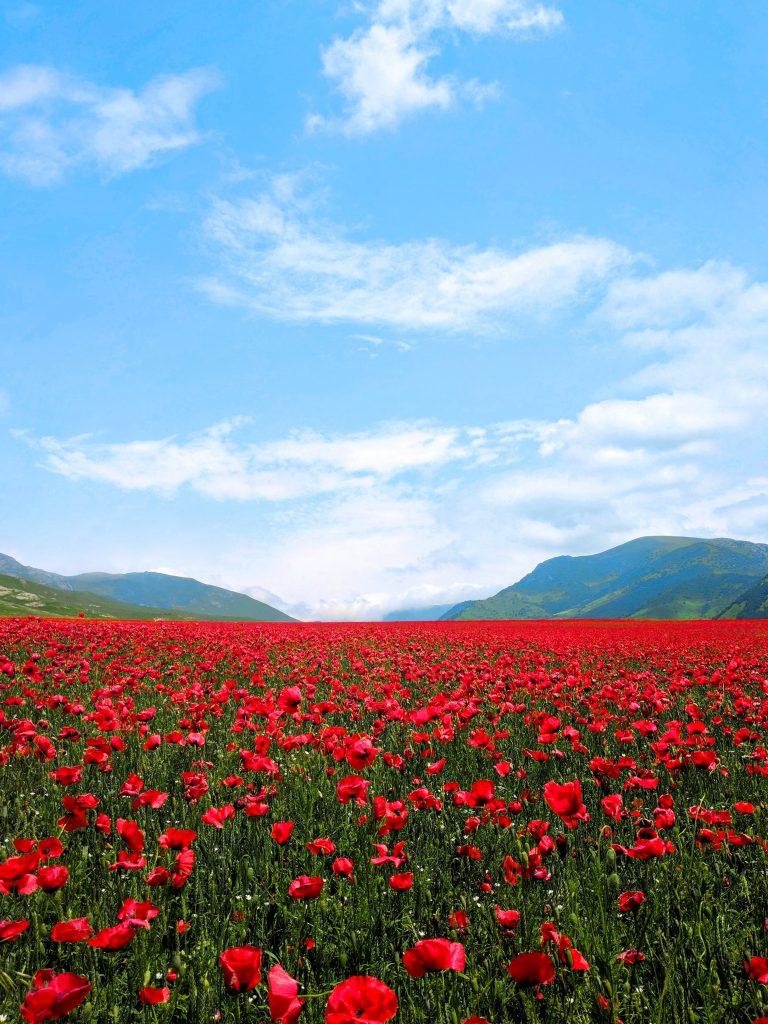 Armenia flower field
