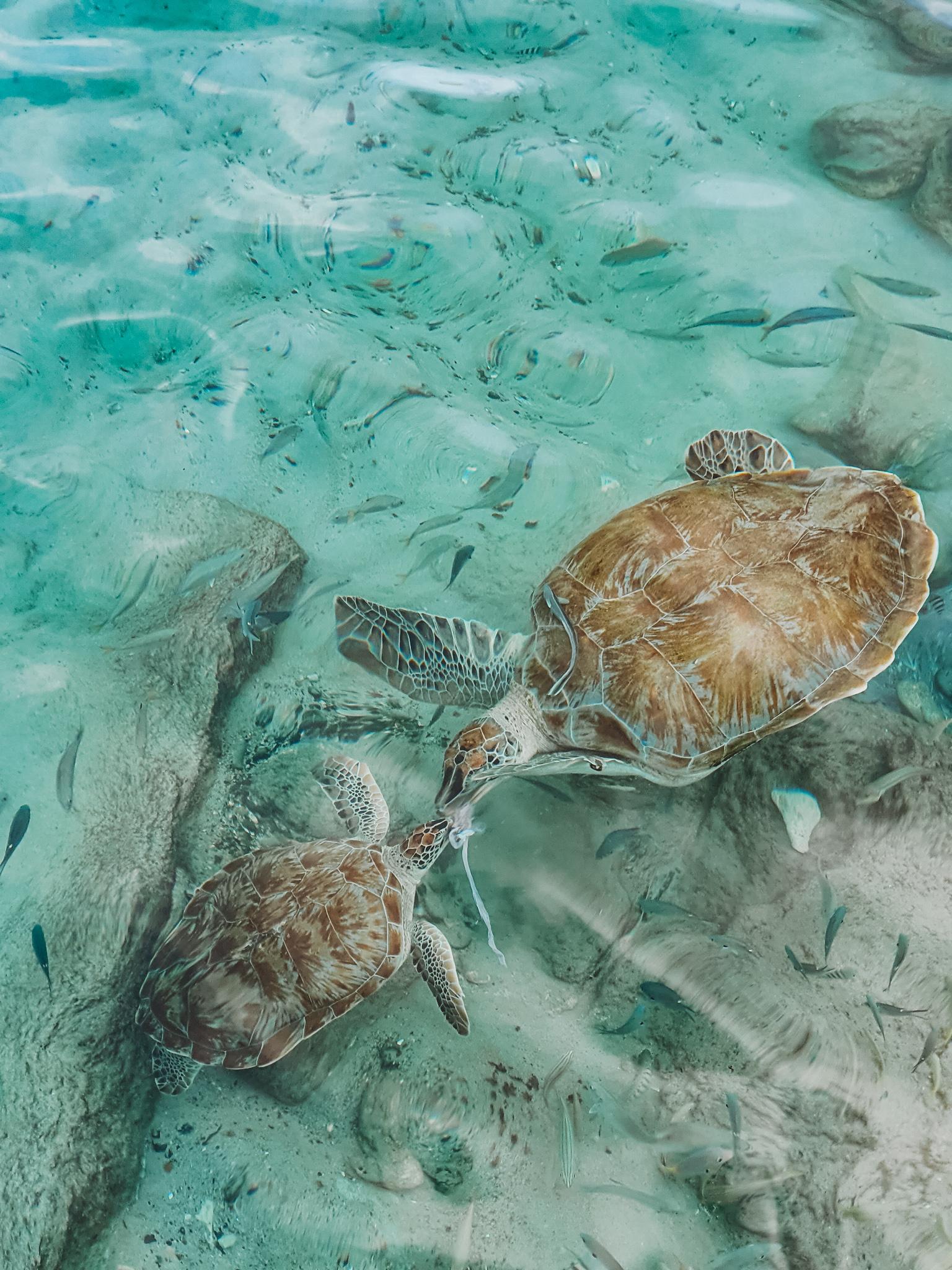 sea turtles Playa Grandi